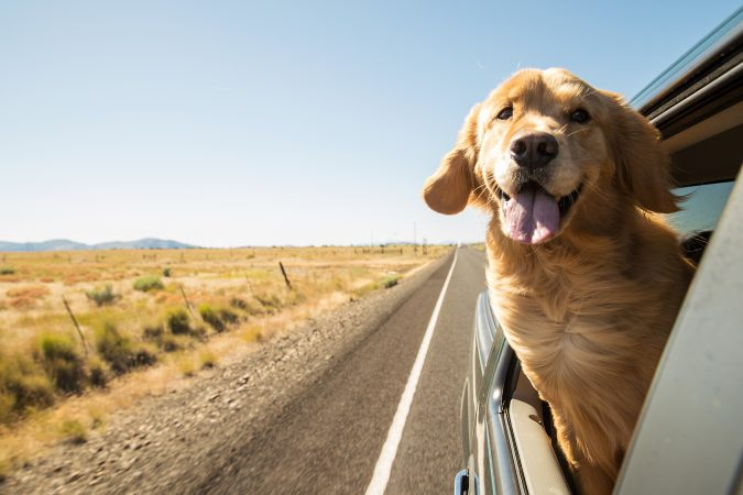 golden-retriever-with-his-head-out-the-window-you-know-you-are-in-ketosis-when-you-feel-this-good